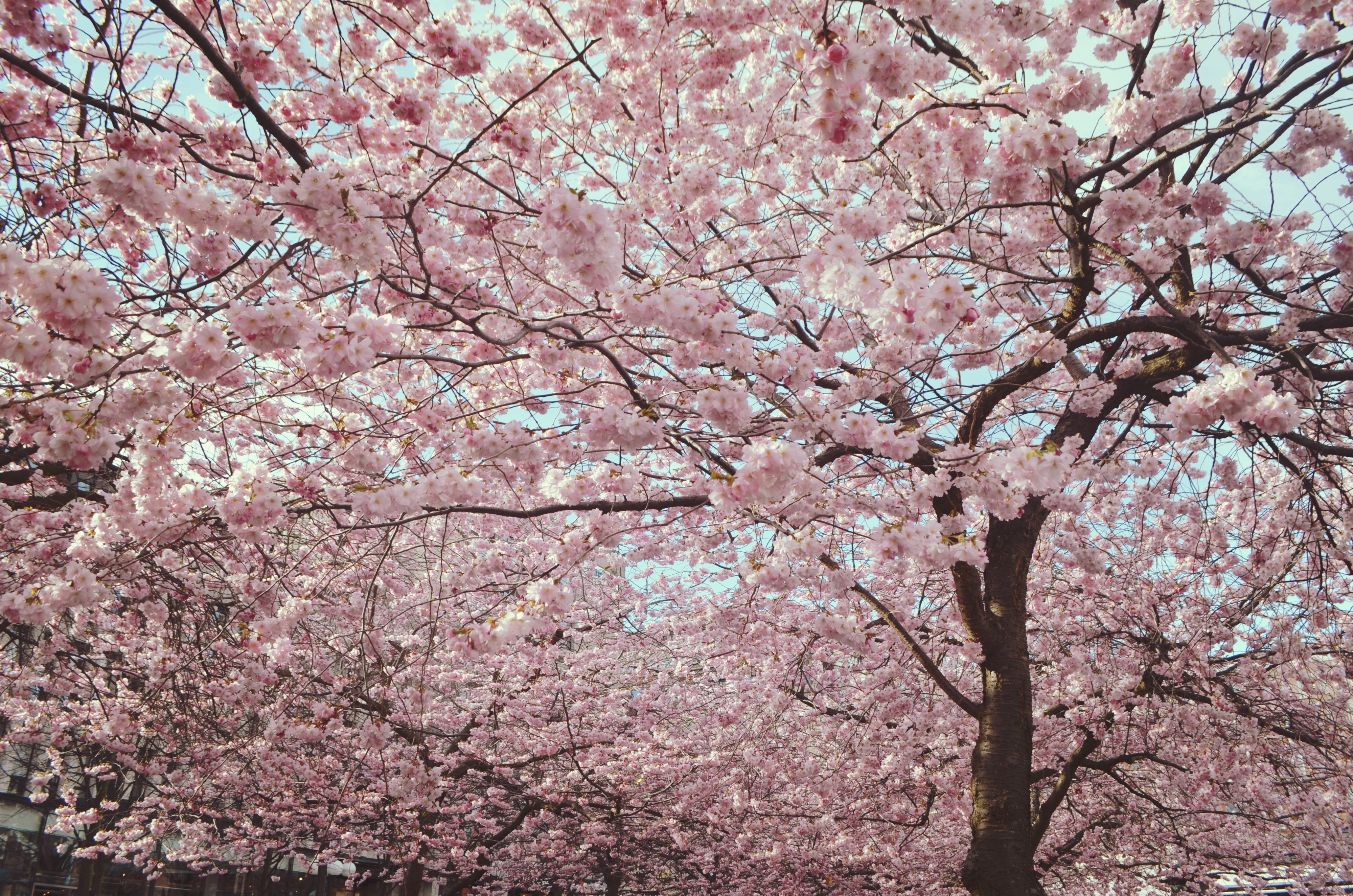 cherry-blossom-stockholm-blog-de-viajes-ChicAdicta-fashionista-ChicAdicta-que-ver-en-estocolmo-PiensaenChic-Piensa-en-Chic